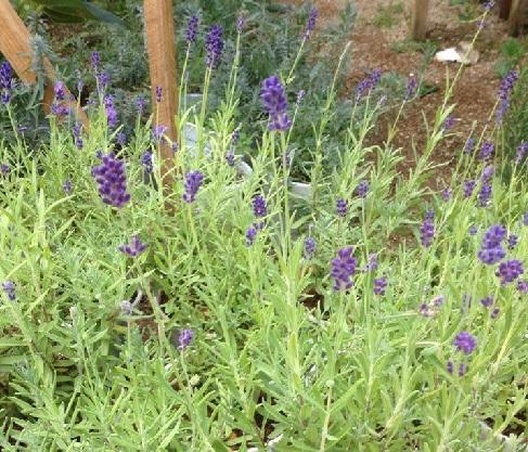 Hoa chậu Lavender Đà Lạt chậu to