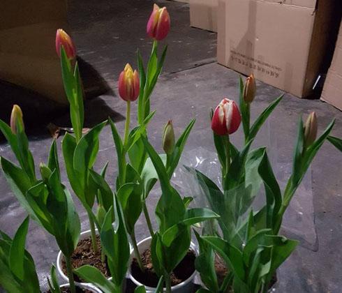 Hoa TuyLip hồng, cam, trắng, đỏ, tím chậu