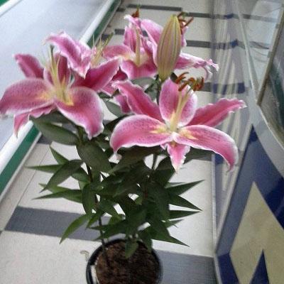 Hoa Ly Ly chậu cao Hồng – Tiny Pearl
