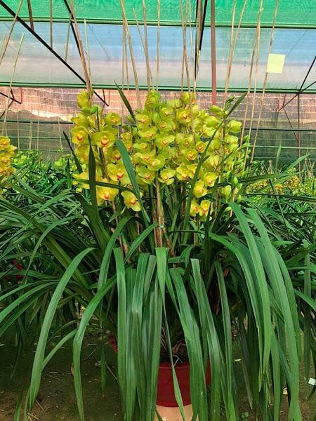 Hoa tươi Đà Lạt - Hoa địa lan Đà Lạt xanh hoàng hậu