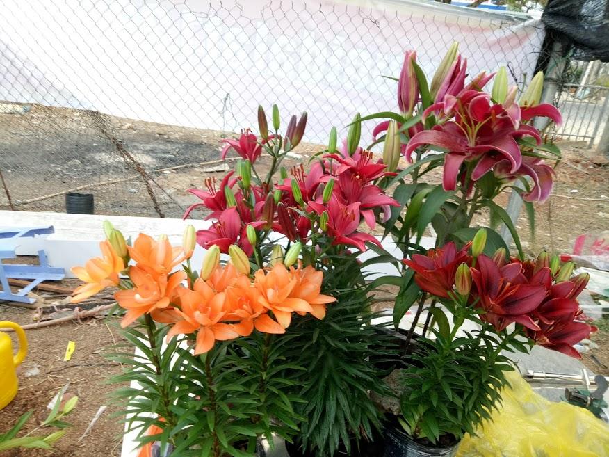 Hoa ly Chậu Đà Lạt