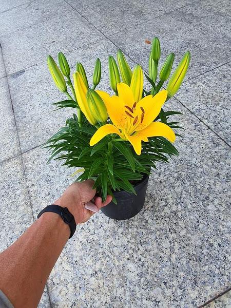 Hoa tươi Đà Lạt - Hoa lyly  Đà Lạt CHẬU LÙN màu vàng