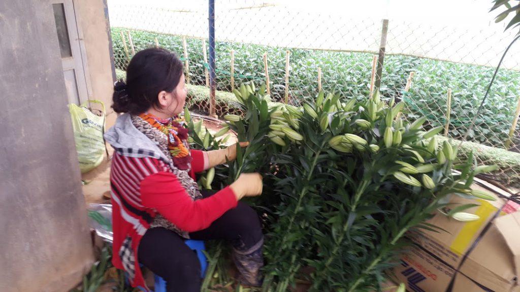 Hoa tươi Đà Lạt - Hoa lyly Đà Lạt cắt cành vàng ù